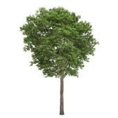 Ash Tree Isolated — Stock Photo