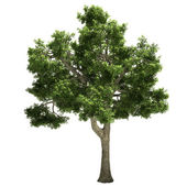 Ide Tree Isolated — Stock Photo