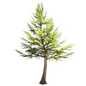 Lebanon Cedar Tree Isolated — Stock Photo