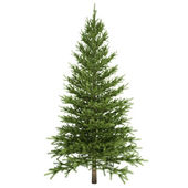 Fir Tree Isolated — 图库照片