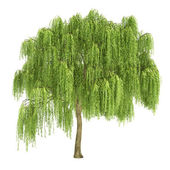 Weeping Willow Tree Isolated — Stock Photo