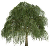 Willow Tree Isolated — Stock Photo