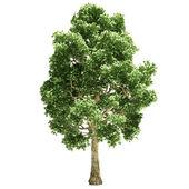Poplar Tree Isolated — Stock Photo