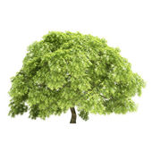Great Maple Tree Isolated — Stock Photo