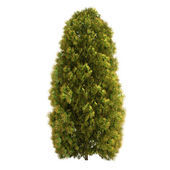 Thuja Tree Isolated — Stock Photo