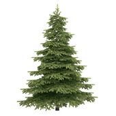 Spruce Tree Isolated — 图库照片