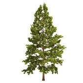 Tall Pine Tree Isolated — Stock Photo