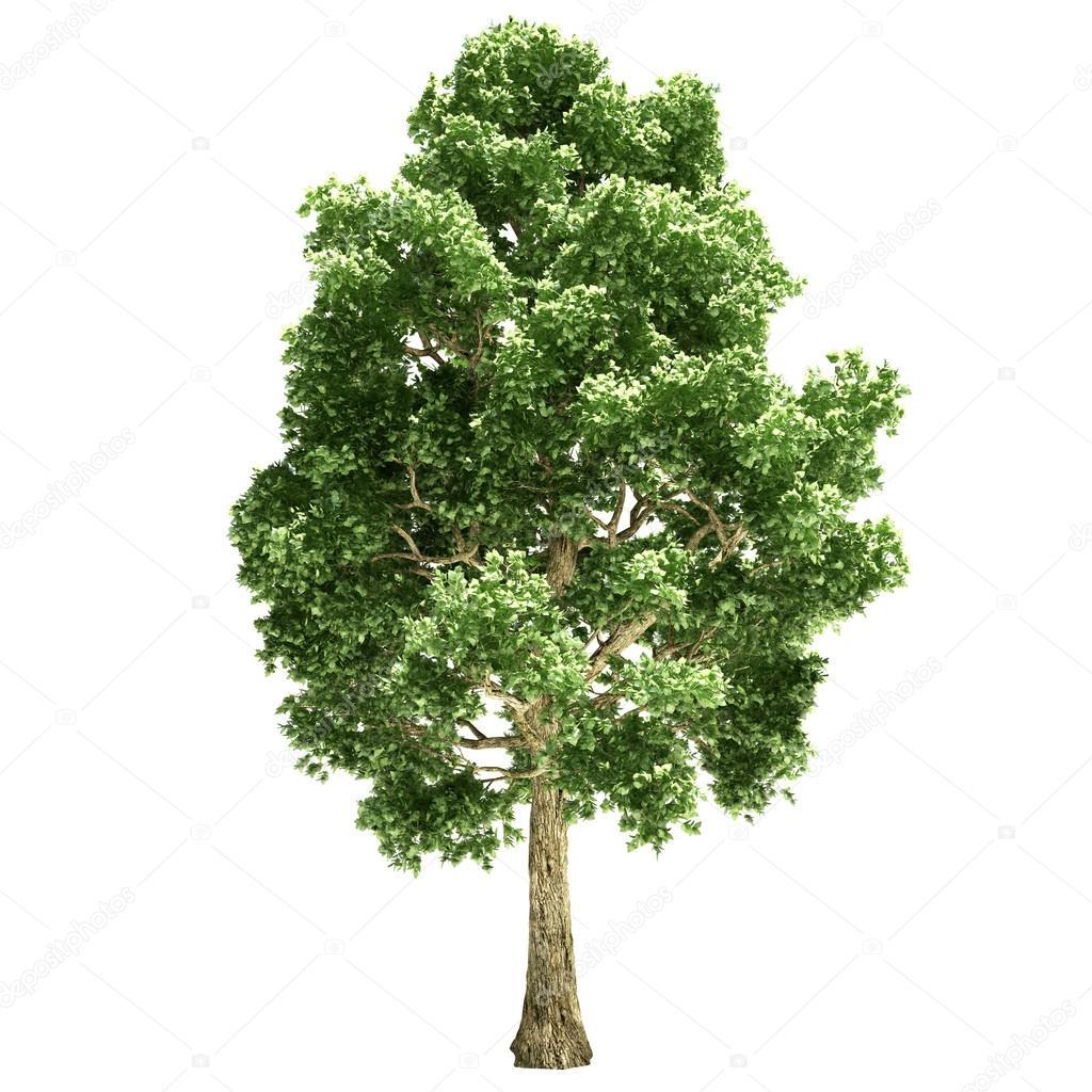 фото дерево тополь