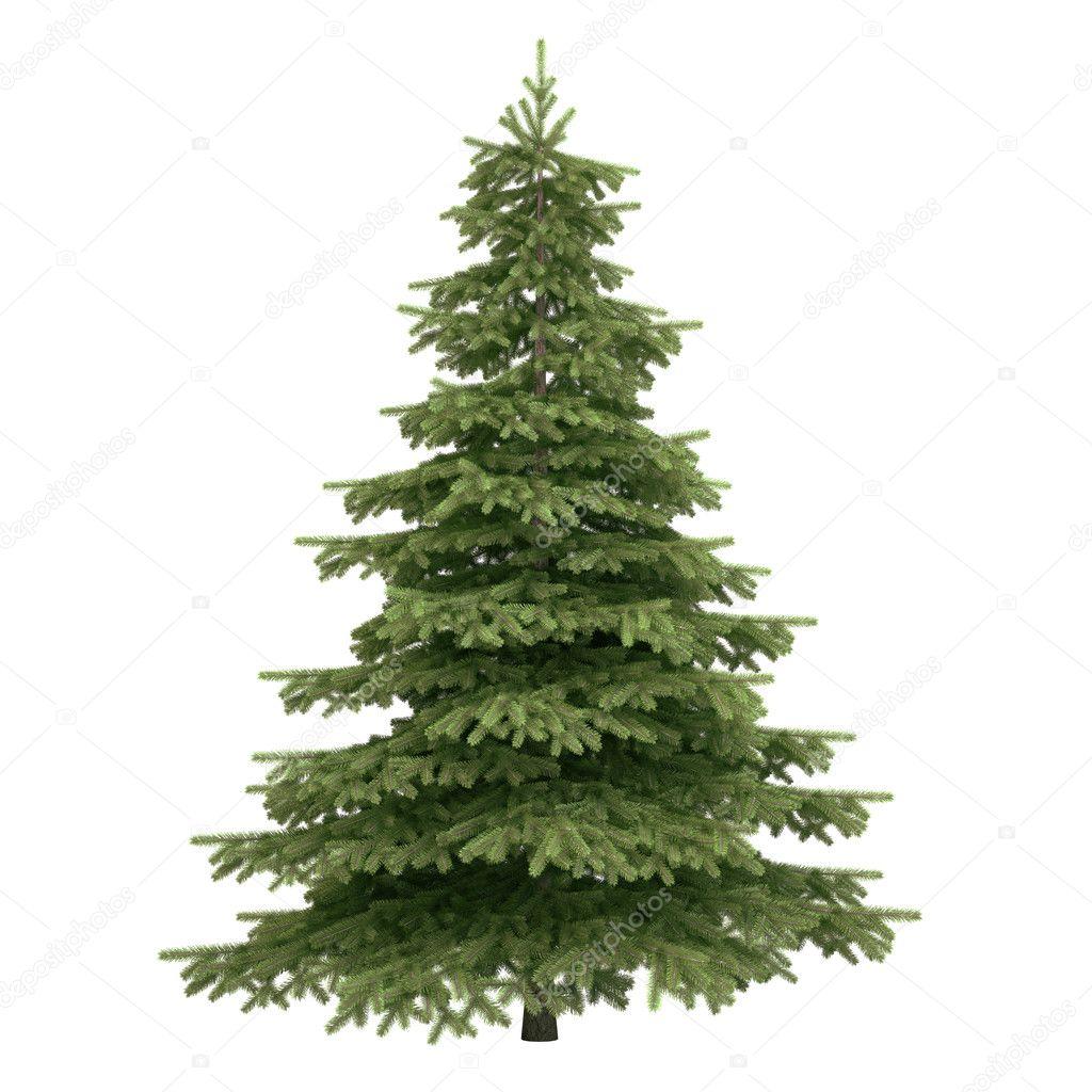 Spruce Tree Isolated Stock Photo 169 Hypnotype 31101913