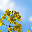 Brassica napus, sky — Stock Photo