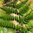 Green bracken — Stock Photo #31227161
