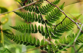 Green bracken — Stock Photo