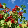 Guelder-rose berries — Stock Photo
