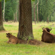 Aurochs in the summer forest — Stock Photo