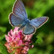 Blue butterfly on the red clover flower — Stock Photo