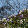 Crocuses blooming — Stock Photo