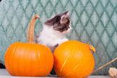 Little Halloween kitten with pumpkins — Stock Photo