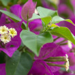 Bouganvillea — Stock Photo