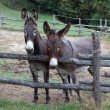 Pair of donkeys — Stock Photo