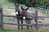 Pair of donkeys — Stock Photo