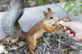 Beautiful squirrel trustful — Stock Photo