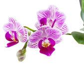 Beautiful pink orchid.  — Stock Photo