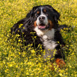 Bernese Mountain Dog portrait - Vertical — Stock Photo