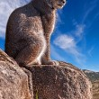 Iberian lynx sitting on a rock — Stock Photo