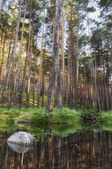 Reflection of pine trees — Stock Photo