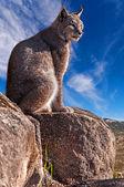 Iberian lynx sitting on a rock — Stock Photo