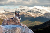 Iberian wolf lying on rocks on a snowy mountain — Stock Photo