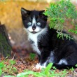 Stock Photo: Small Black and White Kitty