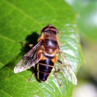 Bee on the Green Leaf in Garden — Stock Photo
