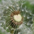 White Dandelion in the Summer — Stock Photo