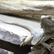 Stock Photo: Gray Lizard in Wood