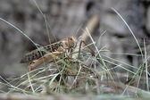 Wspaniałe konik polny w drewnie — Zdjęcie stockowe