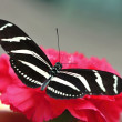 Black White Butterfly on Red Carnation — Stock Photo