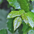 Autumn Green Leafs with Water Drops in the Wood — Stock Photo