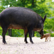 Stock Photo: Wild animails in Canad- Wild Pigs