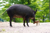 Wild animails in Canada - Wild Pigs — Stock Photo