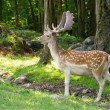 Stock Photo: Wild animails in Canad- Deer