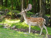 Wild animails in Canada - Deer — Stock Photo