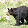 Stock Photo: Wild animails in Canad- Black Bear