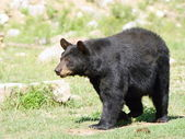 Wild animails in Canada - Black Bear — Foto de Stock