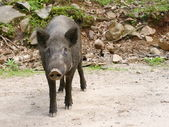 Wild animails in Canada - Wild Pigs — Стоковое фото