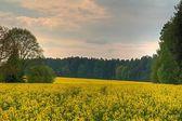 Yellow field between trees — Stok fotoğraf