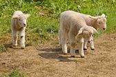Young white sheep — Stock Photo
