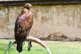 Wild eagle — Stock Photo