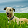 Stock Photo: Irish Wolfhound dog