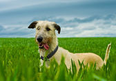 Irish Wolfhound dog — Stockfoto
